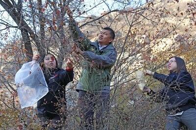 王召明与团队在大青山沟域采种